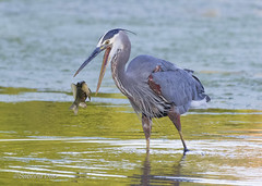 Catch of the Day (Picha Gallery) Tags: greatblueheron greatblueheronfishing fishfordinner fish for breakfast