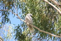 cooks-river-120716-007 (alison.klein) Tags: cockatoo australianbirds cooksriver