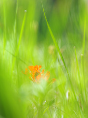 Hiding (h_roach) Tags: nature vertical outdoors nopeople explore dreamy wildflower indianpaintbrush