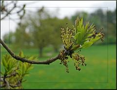 bavarian green (mhobl) Tags: trees green leaves bayern bavaria grn bltter knospen
