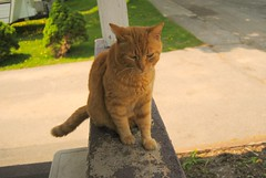 Tigger (ntwphotography) Tags: summer orange cute nature animal animals cat outside photography spring tabby tigger