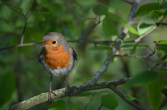 robin (focallocus) Tags: uk nature robin birds garden ian photo nikon availablelight sooc d5100 focallocus