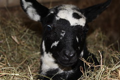 Oh my Baby  Explore # 38 ( 2-6-2013 Thanks !!! (excellentzebu1050) Tags: closeup farm explore lamb lambs newlife explored animails takenwithlove lambbirth 100commentgroup mygearandme vigilantphotographersunite vpu2