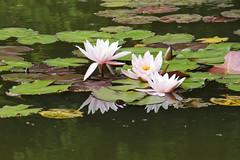 Seerosenteich  -  Water-lily pond (annjoch) Tags: waterlily seerose seerosenteich emeraldgreen waterlilypond smaragdgrn