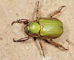 LeConte's Chrysina (cotinis) Tags: arizona insect beetle fieldtrip coleoptera eol scarabaeidae rutelinae canonefs60mmf28macrousm chrysina photogene srer chrysinalecontei leconteschrysina uploaded:by=flickrmobile flickriosapp:filter=nofilter bugguidegathering2013 taxonomy:binomial=chrysinalecontei