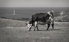 La Hague en une photo (aZuw) Tags: sea mer lighthouse cow country hague cap normandie campagne normandy phare champ vache pr littoral cotentin