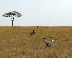 P1040621 (H Sinica) Tags: safari vulture masaimara maasaimara