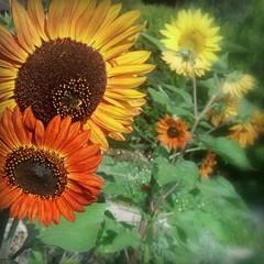 (Christopoulos (off again)) Tags: orange yellow bronze garden sunflowers frontyard pickmonkeyd