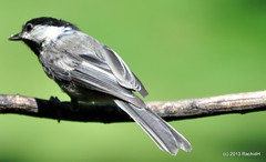 DSC_0270 (RachidH) Tags: nature birds nj chickadee sparta blackcappedchickadee oiseaux mésange poecileatricapillus mésangeàtêtenoire rachidh