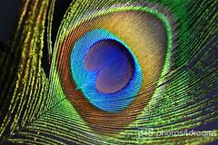 feather (photos4dreams) Tags: blue green feather peacock feder blaugrün pfauenfeder photos4dreams photos4dreamz p4d sundaysbestp4d