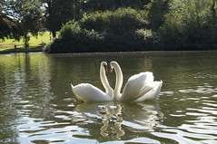 DSC09651 (Joshua Clark.) Tags: park uk autumn winter summer england lake love season swan northampton seasons heart northamptonshire swans autumnal abington loveheart abingtonpark