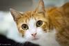 IMG_9910 (Crooked-Kitty) Tags: rescue cat rat tabby calico hamster adopt carlsbadcalifornia domesticshorthair sandiegoanimalshelter