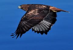 Red-tailed Hawk in flight, Bayside State Marina, SLOCO 18Nov13 BushPhoto (3) (aviac) Tags: hawk raptor morrobay redtailed redtailedhawk birdinflight morrobaystatepark stateparkmarina