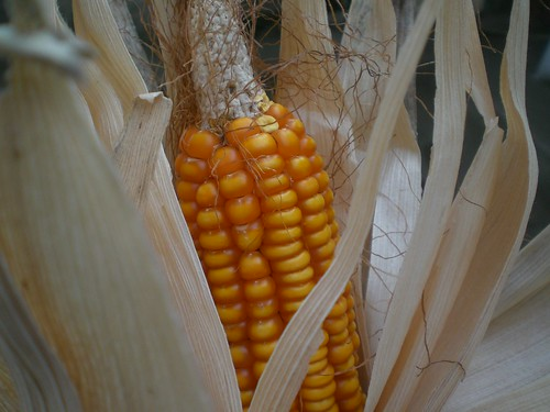 From flickr.com: maize {MID-206121}