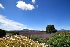Lavender (Orangedrummaboy) Tags: flowers nature floral beauty canon landscape outdoors bush pretty farm au australian lavender australia tasmania aussie dslr downunder bridestowe davidjburke orangedrummerboy uploaded:by=flickrmobile flickriosapp:filter=nofilter davidjohnburke orangedrummaboyphotographycanberra djburke httpswwwfacebookcomorangedrummaboy thmccit httpstwittercomorangedrummaboy