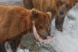 Alaska brown bear fishtif