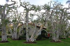 Unusual Trees (Robert F. Carter) Tags: sandiego california homes houses trees yards robertcarterphotographycom ©robertcarter