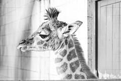 baby giraffe [explored] (carol_malky) Tags: bw cute marwell babygiraffe explored abigfave punkyhairstyle