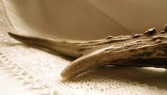 Rehgeweih & Spitzen (miramann) Tags: luzern horn lucerne wald roedeer reh lucerna tier antler paarhufer geweih capreoluscapreolus rehbock 6129 jhrling miramann gtschwald europischesreh trughirsche gabelbock krickl hirscheschalenwild
