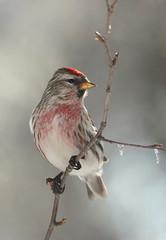 Sizerin (Marie-Helene Levesque) Tags: oiseau abitibi valdor mariehelene mariehélène sizerin côtede100pieds