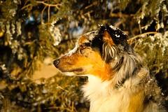 258/365 Cap (BlueDog_1199) Tags: blue dog canon puppy rebel shepherd australian days cap captain 365 aussie australianshepherd merle t1i