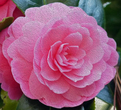 Camelia Trelissick Gardens NT Cornwall (Cornishcarolin. Just moved house!! BUSY!!! xxxxxx) Tags: flowers camelias cornwall filters oilpainting trelissickgardensnt brilliantflickr