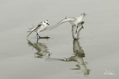 _SAM2077 (SlocumPhotography) Tags: birds venicebeach seabirds slocum