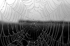 pearls (Agi - Agnieszka Lewkowicz) Tags: blackandwhite bw drops pearls cobweb agi pajeczyna bialoczarne agnieszkalewkowicz