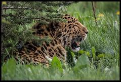 Leopard (davidrhall1234) Tags: cat yorkshire leopard portal ferocious amil flickrs flickrsportal