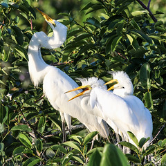 20140508 60D Wakodahatchee 159 (James Scott S) Tags: portrait green birds animal canon scott james wildlife birding s everglades handheld cay ef hatchlings wakodahatchee 100400 60d lr5
