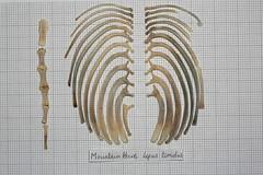 MountainHareRibsSternum (JRochester) Tags: mountain skeleton hare ribs bone sternum lepus osteology timidus