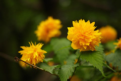 DP3M0675 (punipuki) Tags: street city flower nature japan spring sigma merrill 春 dp3 floralappreciation