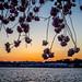 Cherry blossom sunset over the tidal basin