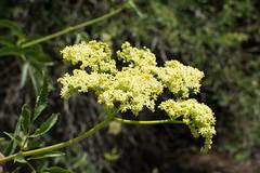 Sambucus nigra ssp. caerulea (Weeding Wild Suburbia) Tags: park gardens places publicgardens spnp