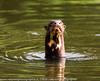 Pteronura brasiliensis - Giant Brazilian Otter - Loutre géante - Manu - Peru 02.jpg