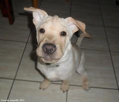 V.P 37 (Victoria Amarillo) Tags: familia amigo beige perro cachorro sirius hermano felicidad cachorros feliz sharpei mascota perritos