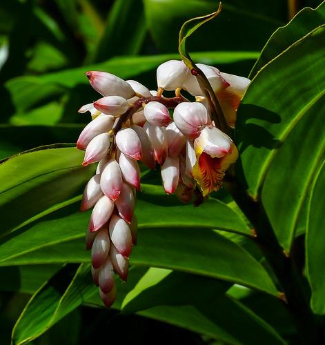 Ginger blossom - Ingwerblüte