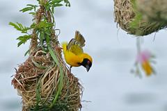 Southern Masked Weaver (Ploceus velatus) (berniedup) Tags: southafrica kruger lowersabie southernmaskedweaver ploceusvelatus sunsetdam taxonomy:binomial=ploceusvelatus