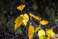 Weird weather today... (Theophilos) Tags: sun tree nature leaves rain weather weird crete rethymno