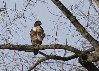 Red-tailed Hawk_3770