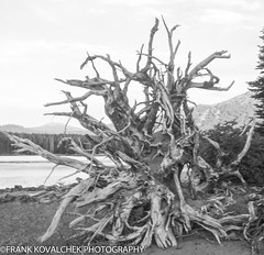 Massive root system of a fallen tree (Alaskan Dude) Tags: travel mountains oregon reflections bend lakes cascades threesisters sparkslake
