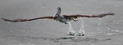 The Takeoff (Swaranjeet) Tags: pelican pelicans galapagos ecuador bird largebirds july2014 canon fullframe 1dx eos1dx dslr sjs swaran swaranjeet swaranjeetsingh sjsvision sjsphotography swaranjeetphotography 2014 eos canoneos1dx 35mm ef pro 200400 canonef200400mm canonef200400mmf4lisusm14x singh photographer thane mumbai india indian