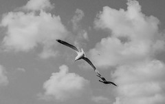(Alessandro Puleio) Tags: sky bw seagulls birds clouds monocromo nuvola cielo e bianco nero gabbiani