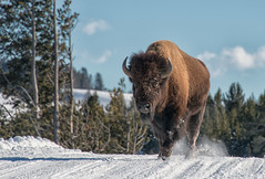 Roadblock (dbushue) Tags: road park trees winter snow mountains nature landscape buffalo nikon scenery wildlife january yellowstonenationalpark wyoming bison ynp 2014 specanimal snowcoachtour dailynaturetnc14 photoofthedaynwf14 dailynaturetnc15 photoofthedaynwf15