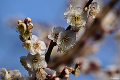 Early signs of Spring.. (Shubhashish Chakrabarty) Tags: japan blossom plum sigma 日本 yokohama 花 横浜 plumblossom 梅 春 花見 根岸森林公園 negishipark