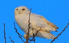 snowy owl near Lime Springs IA 854A0438 (lreis_naturalist) Tags: county snowy howard reis iowa larry springs owl lime