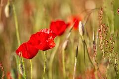 sfumature di primavera (mat56.) Tags: flowers red primavera grass spring milano lawn campagna erba poppies fiori antonio rosso prato lombardia papaveri pianura padana sancolombanoallambro mat56 romei