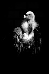 peaking out of the darkness (dre69wld) Tags: bw bird death raptor predator geier