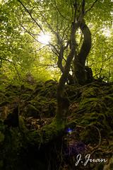 136 de 365 Magia (pico_de_la_miel) Tags: primavera bosque len brujas hadas fagus magia castillaylen bosqueencantado umbra faedodeciera montaacentralleonesa
