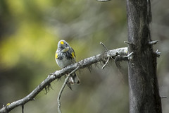 Yellow-rumped Warbler (Peter Stahl Photography) Tags: yellowrumpedwarbler warbler spring migration banff banffnationalpark